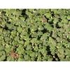 Rubus hayata-koidzumii 'Emerald Carpet'