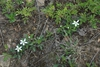 Leaves and white flowers (Alleghany County, NC)-Mid Spring