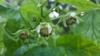 Rubus idaeus flower