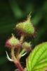 Fruits forming (North Carolina, US)-Mid Summer