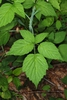 Trifoliate leaves (Monroe County, NY)-Late Spring
