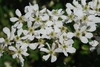 Whit flowers (Guilford County, NC)-Mid Spring
