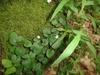 Rubus repens