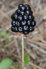 Berry (McIntosh County, GA)-Mid Spring