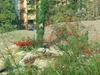 Russelia-equisetiformis