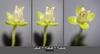 Sagina procumbens flowers