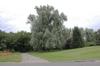 Salix alba var. sericea