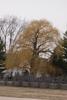 Salix alba 'Tristis' Winter Form
