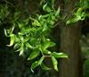 Salix matsudana 'Scarlet Curles'