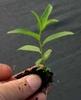 Salix spp.