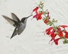 Hummingbird on Salvia coccinea