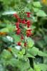 Salvia-coccinea