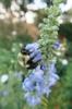 Salvia azurea 'Nekan' flowers with bee