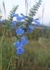 Salvia azurea flowers