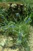 Salvia azurea form