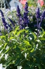 Salvia farinacea 'Rhea Dwarf Blue (Celebration Blue'