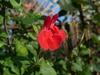 Salvia 'Maraschino'