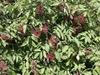 Sambucus racemosa subsp. pubens