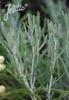 Santolina etrusca
