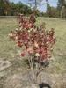 Sapium sebiferum Fall Color Form