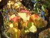 Fall leaf color close-up