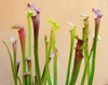 Sarracenia with colorful features