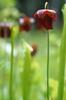 Sarracenia jonesii