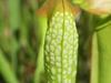 Var. okefenokeensis close up