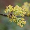 Sassafras officinale's blooms