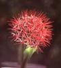 Scadoxus multiflorus (Haemanthus multiflorus)
