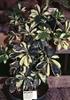 Schefflera spp., Brassaia arboricola
