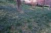 Scilla siberica, S. tubergeniana