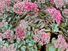 Sedum cauticola