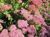 Upright sedum flowers