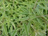 S. variegatum leaf closeup