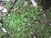 Selaginella kraussiana 'Aurea'