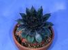 Sempervivum spp.