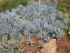 S. serpens plant- Blue Chalksticks