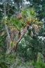 Spring form (Highlands County, FL)-Mid Spring