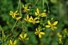 Yellow flowers (Pleasant Garden, NC)-Late Summer