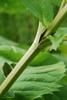 Stem and leaf sheath forming a cup (Niagara Falls, ON)-Late Summ