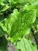 Smilax tamnoides