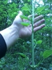 Smilax herbacea