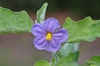 Solanum melongena flower