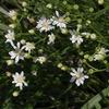 Solidago ptarmicoides
