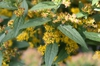Solidago rugosa 'Fireworks' flowers and leaves