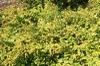 Solidago sphacelata 'Golden Fleece'