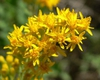 Solidago velutina subsp. sparsiflora
