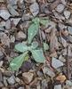 Basal Leaf