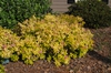 Spiraea x bumalda 'Golden Sunrise' Form